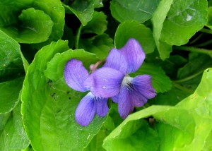 26 BB Flower - Violet Pair