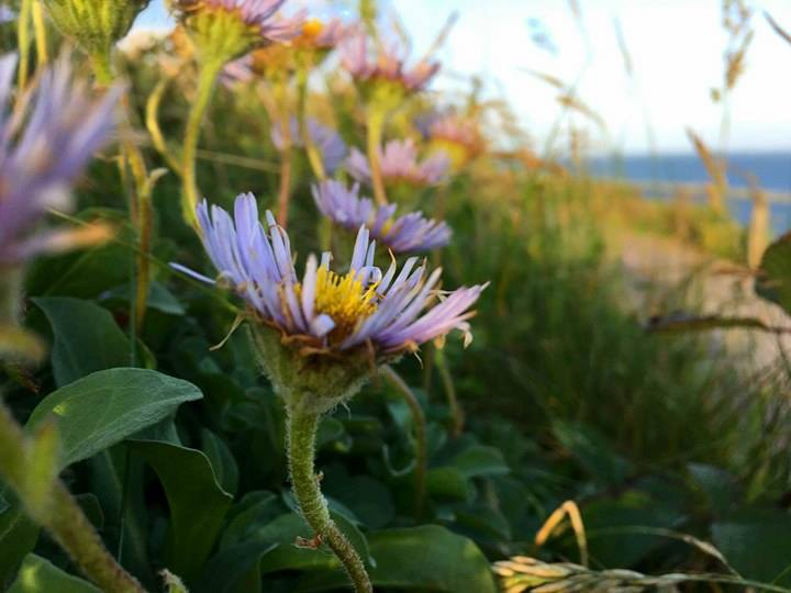 Ireland - Daisy lavender