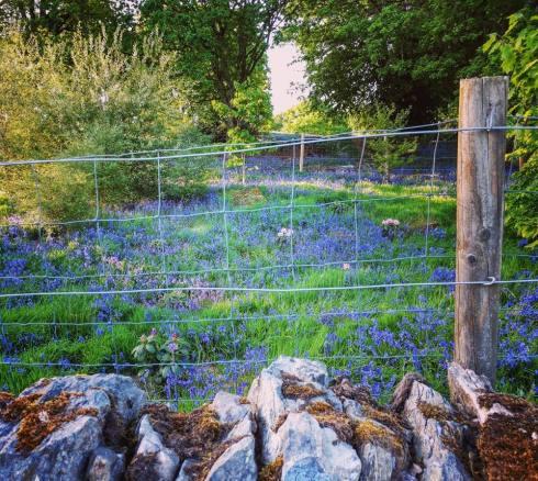 Scot - bluebells